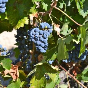 Leoness Grapes