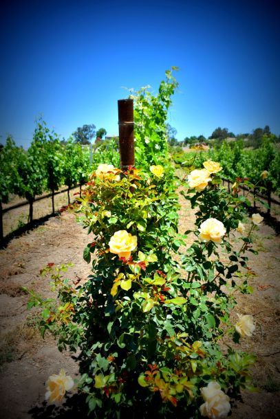 Brander had beautiful roses at the end of the rows of wines. Since roses and vines can be affect by the same diseases, beautiful roses mean healthy vines!